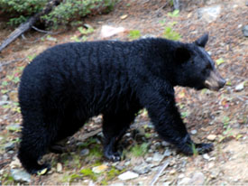 BLack Bears at Canadian Country Cabins