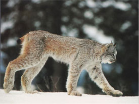 Lynx at Canadian Country Cabins